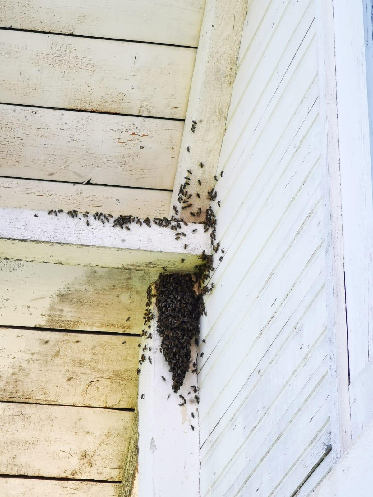 Infestarea cu viespi