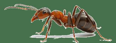 Dezinsectie furnici